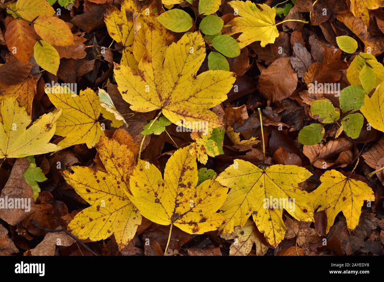 sycamore maple, yellow leaves Stock Photo
