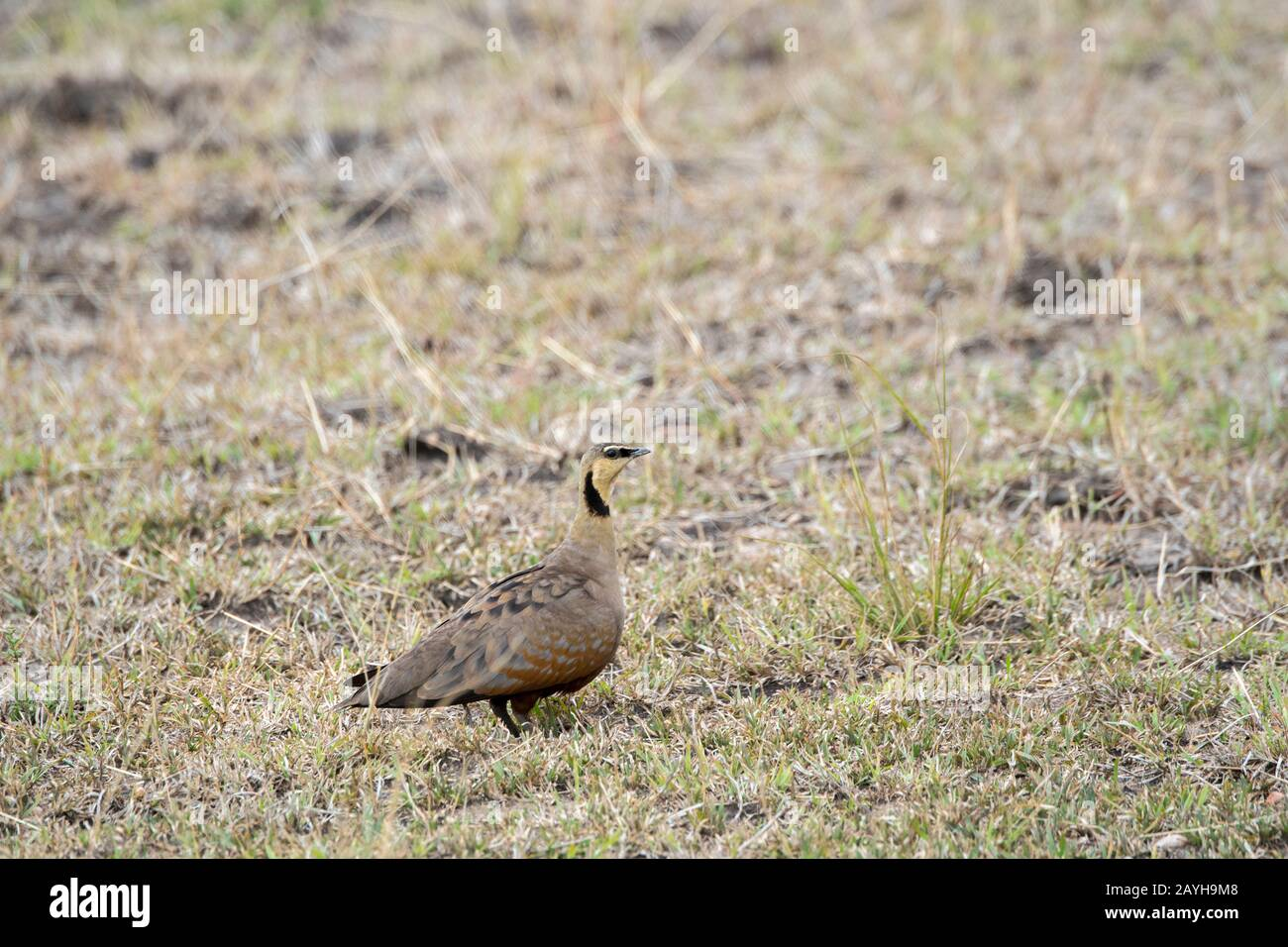 A yellow-throated sandgrouse (Pterocles gutturalis) is looking for food in the grasslands of the Masai Mara National Reserve in Kenya. Stock Photo