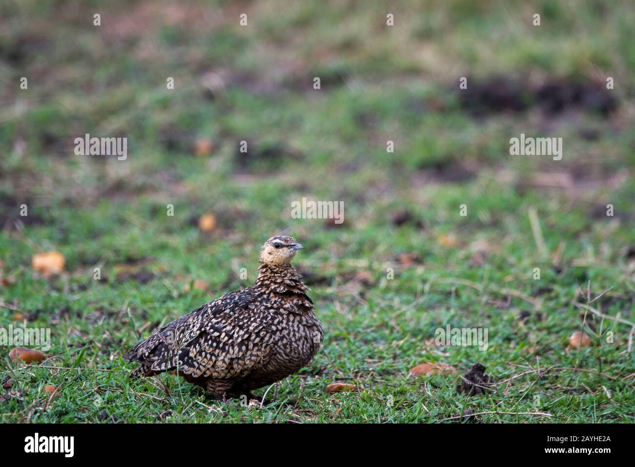 A female yellow-throated sandgrouse (Pterocles gutturalis) in the grasslands of the Masai Mara National Reserve in Kenya. Stock Photo