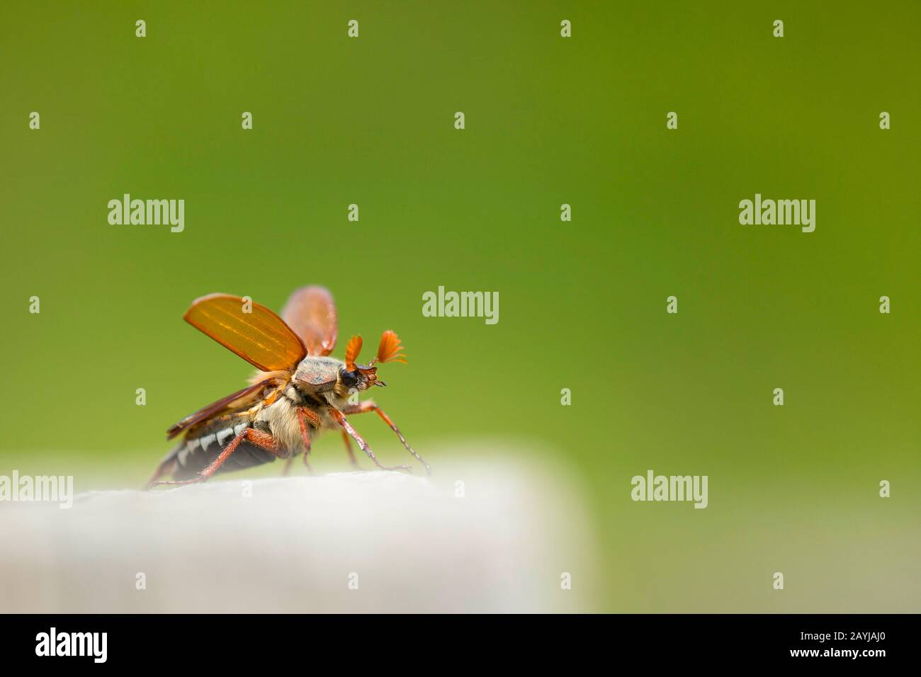 Common cockchafer, Maybug, Maybeetle (Melolontha melolontha), male taking off, France, Rosnay, La Brenne Stock Photo
