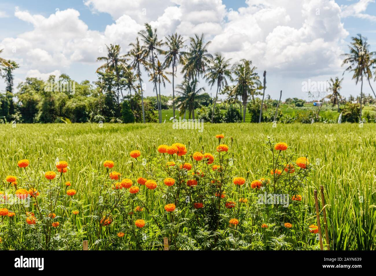 Rice field with blooming marigolds. Palm trees on the background. Rural landscape. Bali Island, Indonesia Stock Photo