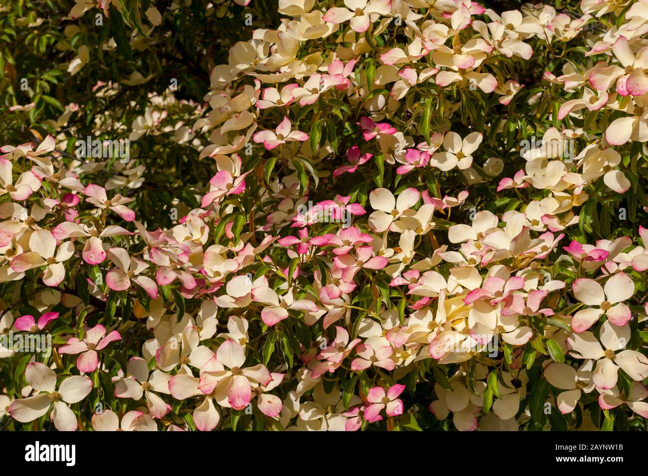 A Pink Dogwood Tree Flowering In The Garden Of Queenstown On Lake Wakatipu On The South Island In New Zealand Stock Photo Alamy