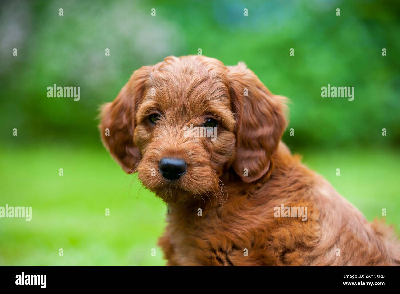 Portrait Of 8 Week Old Goldendoodle Male Puppy Stock Photo Alamy