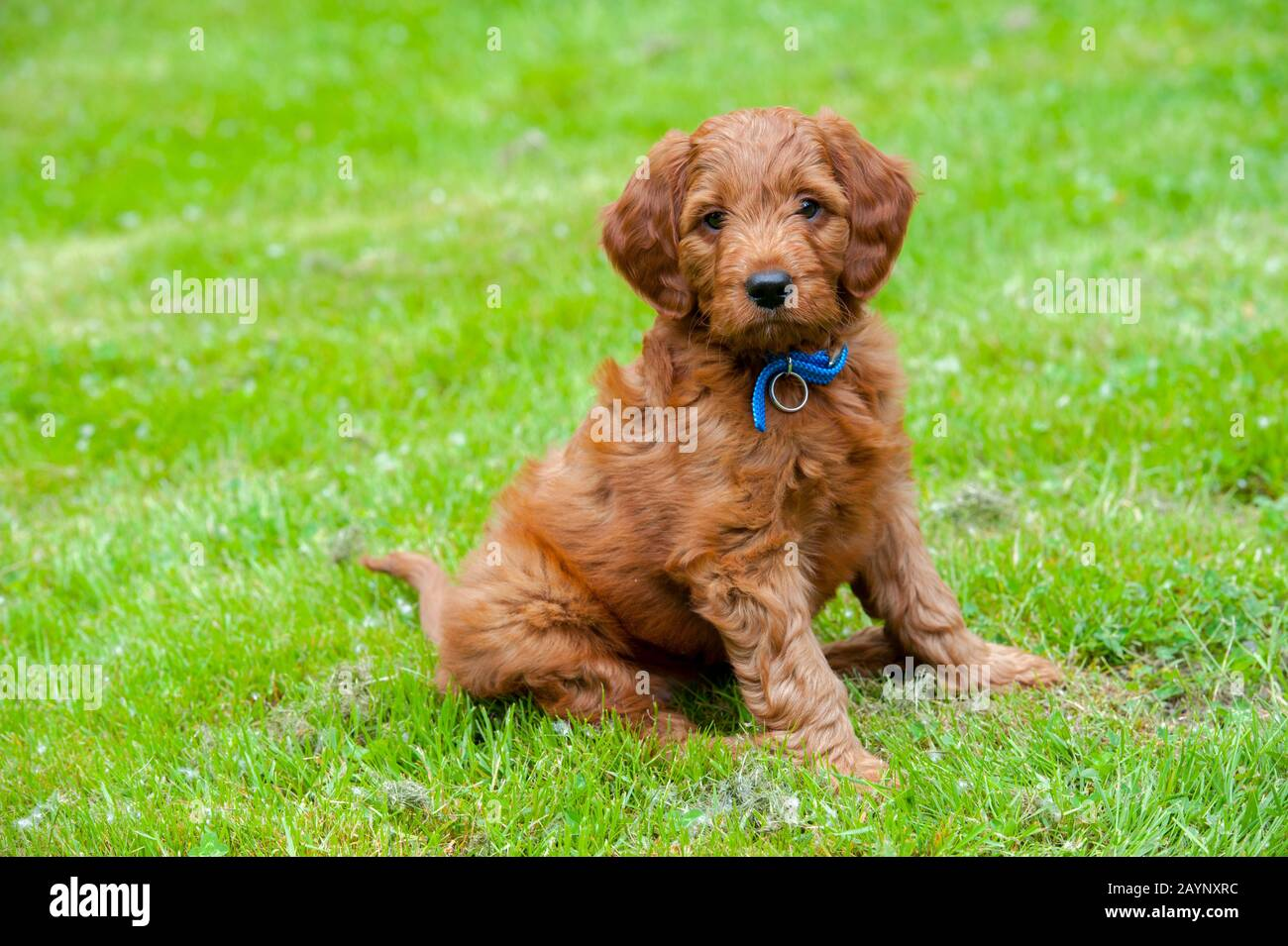8 Week Old Goldendoodle Male Puppy Stock Photo Alamy