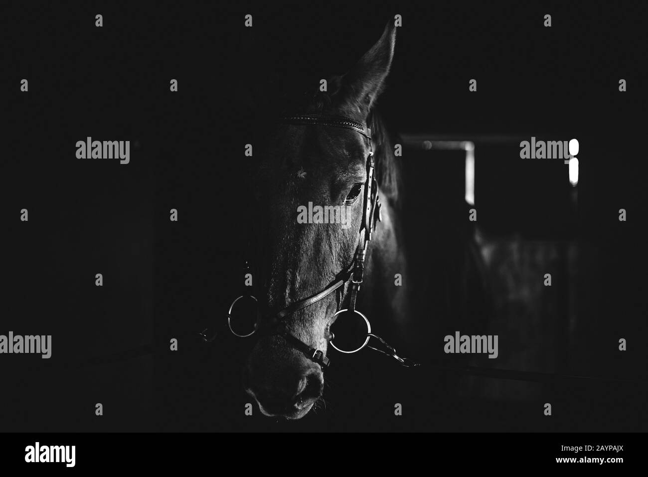Black Horse Black Wild Horse In Stable Portrait Of A Horse Black And White Stock Photo Alamy