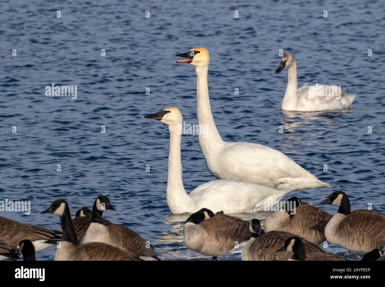 Trumpeter swans (Cygnus buccinator) and canada geese (Branta canadensis) in a lake, Iowa, USA. Stock Photo