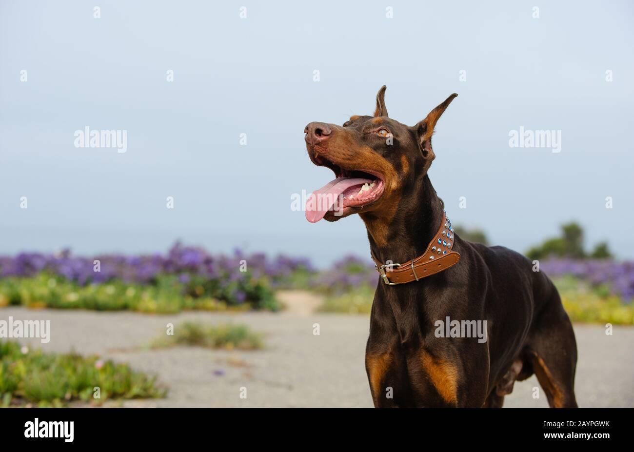 Doberman Pinscher Dog Stock Photo Alamy