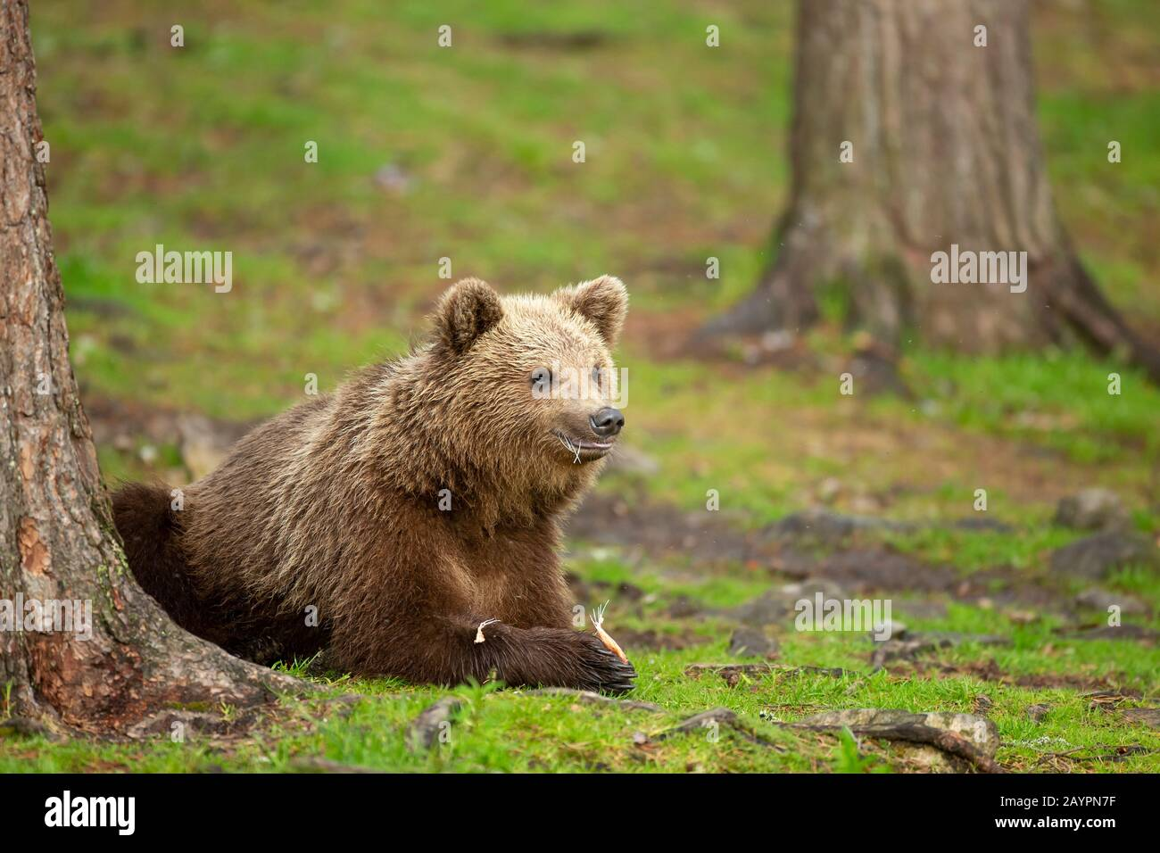 Eurasian brown bear (Ursus arctos arctos) feeding Stock Photo