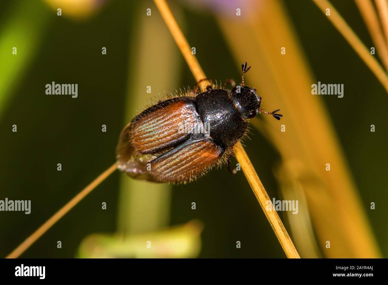 scarab beetle (Omaloplia nigromarginata), critically endangered species, Germany Stock Photo