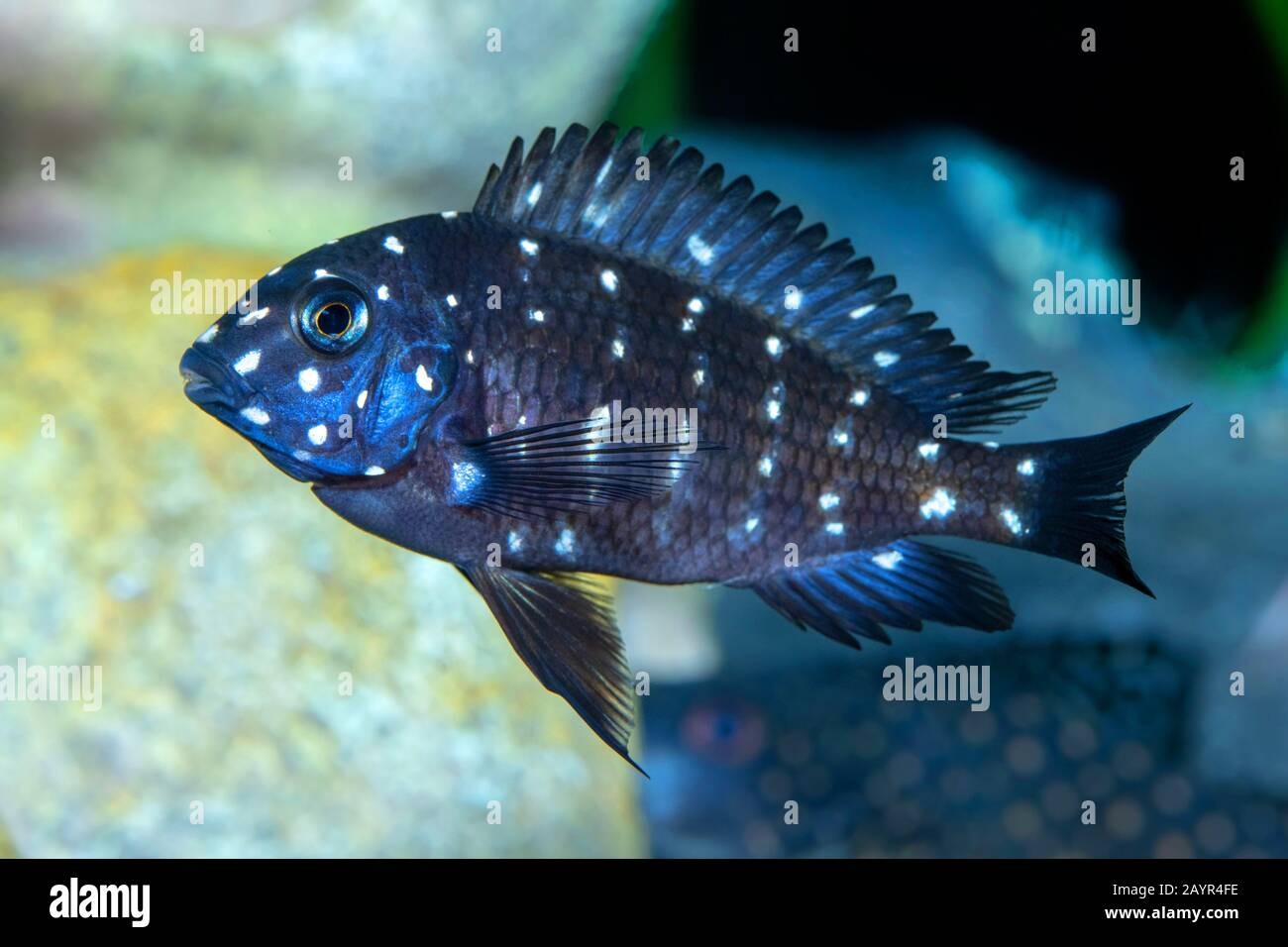 Tropheus Duboisi High Resolution Stock Photography And Images Alamy