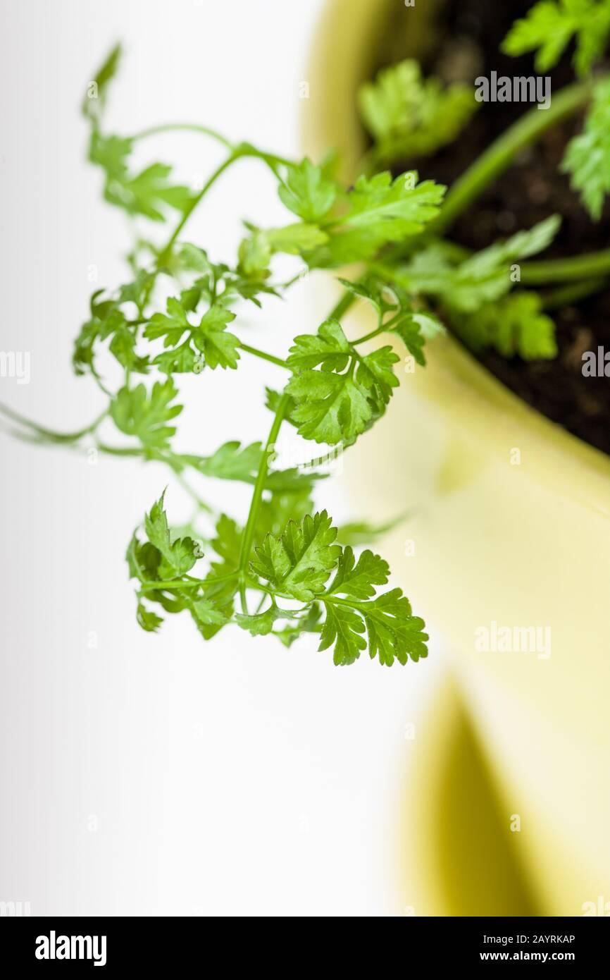 Pot Of Garden Chervil Anthriscus Cerefolium An Uncommon
