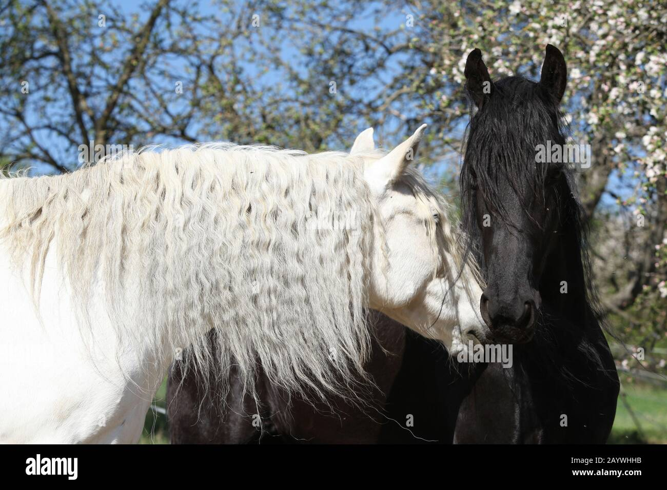 White Andalusian Horse With Black Friesian Horse In Spring Stock Photo Alamy