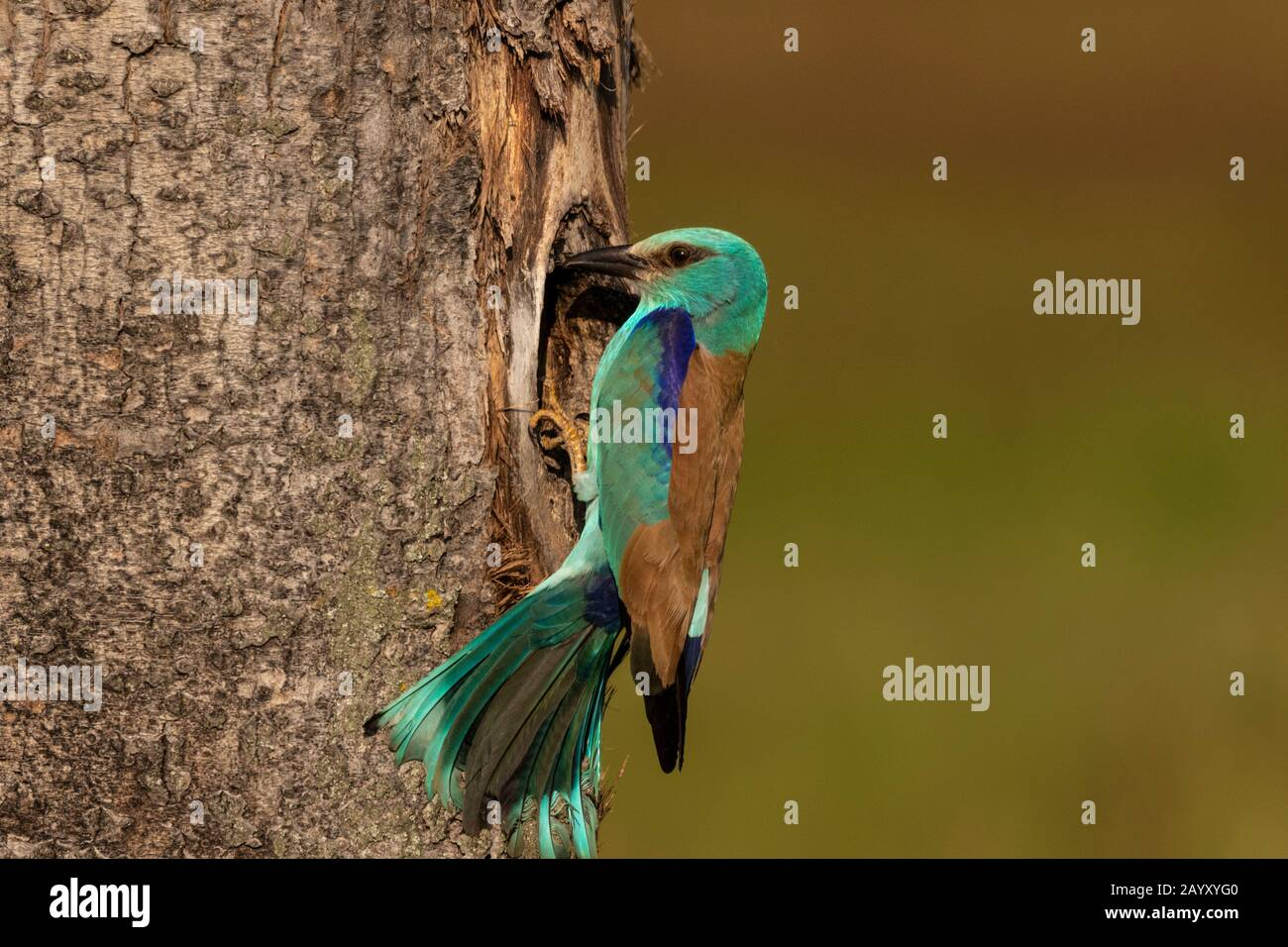 European roller,  Coracias garrulus, sitting outside his nest, Kiskunsági Nemzeti park, Hungary Stock Photo