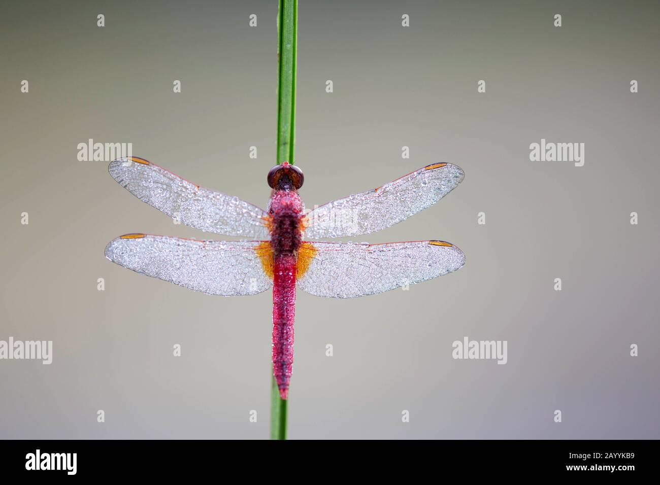 Broad Scarlet, Common Scarlet-darter, Scarlet Darter, Scarlet Dragonfly (Crocothemis erythraea, Croccothemis erythraea), male with dew drops, Belgium, Vlaams-Brabant Stock Photo