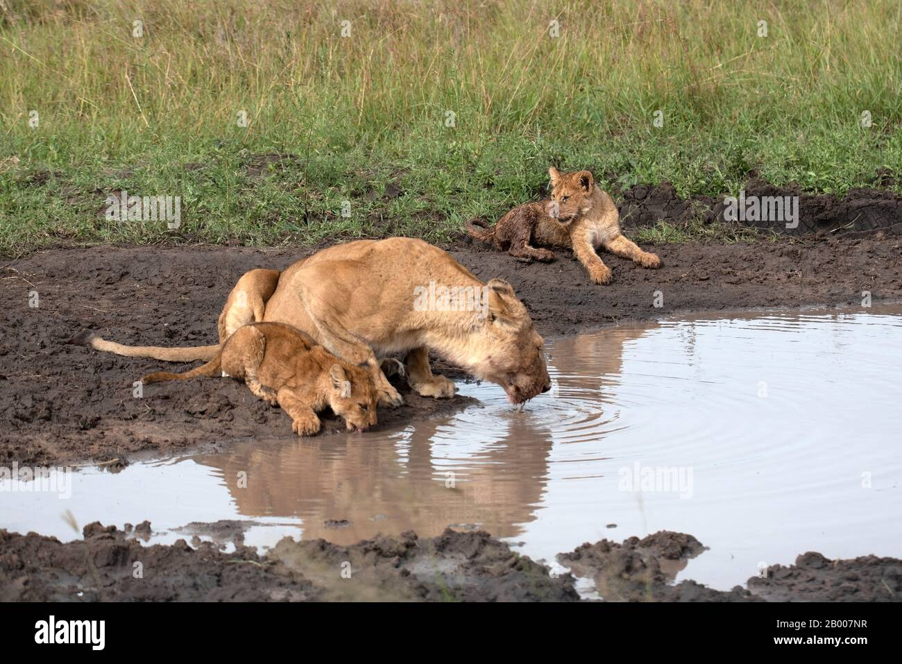 Lioness with her dirty cubs coming in for a drink Stock Photo