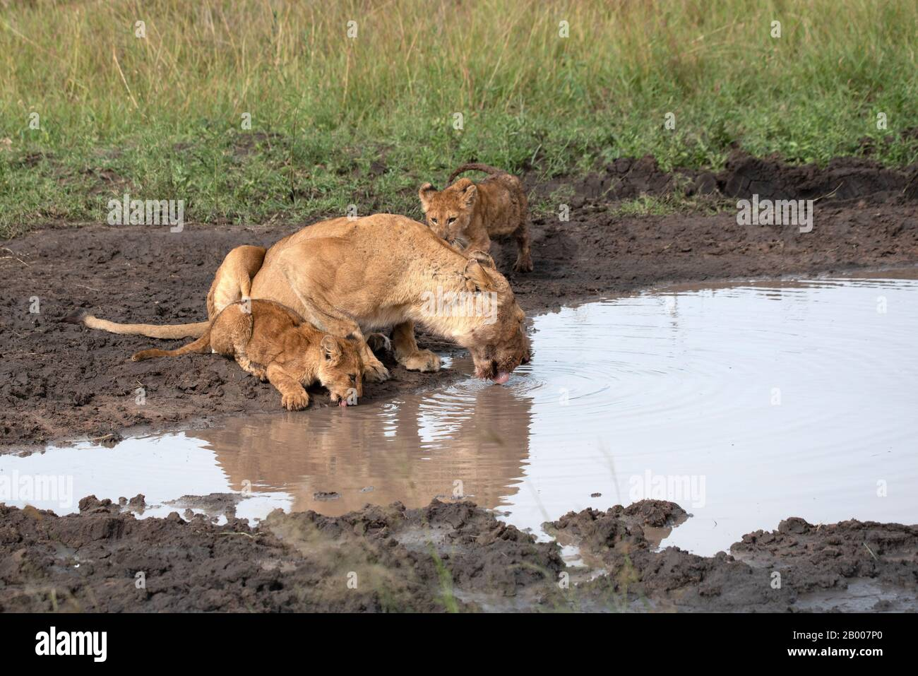 Lioness with her two cubs at the water edge Stock Photo