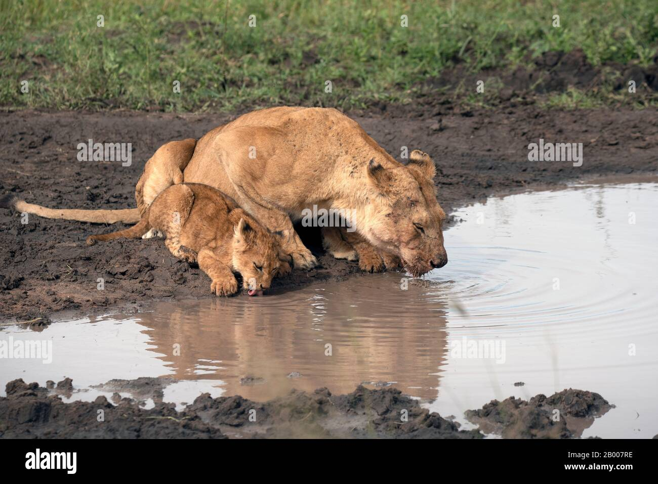 Lioness and cub lapping up the water in a muddy puddle Stock Photo