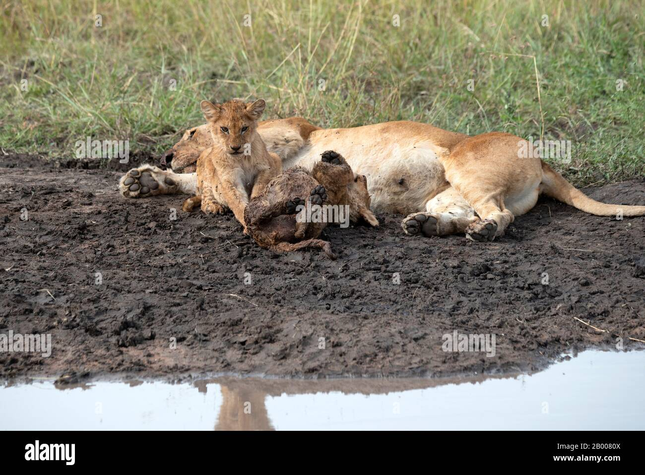 Mother Lion resting after a big meal while the kids play Stock Photo