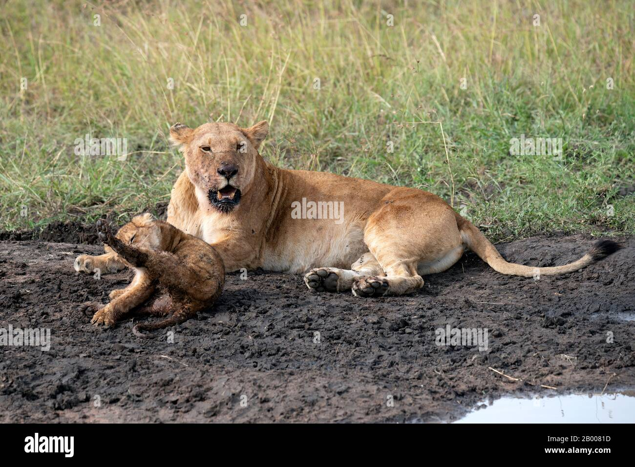 Mother and baby Lion resting in the mud after a meal Stock Photo