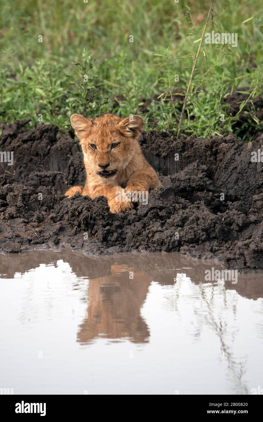 Lion cub reflected in the overnight puddle Stock Photo