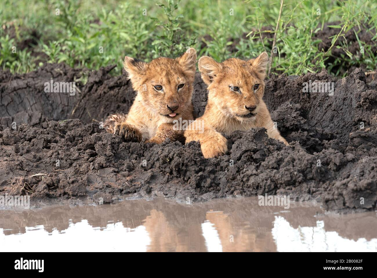 Adorable Lion cubs with his tongue poking out Stock Photo