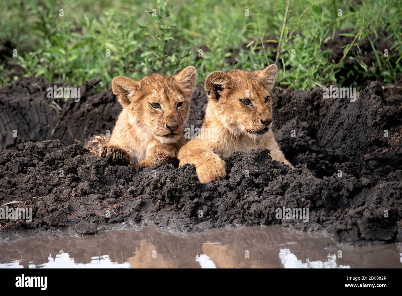 Lion cubs cooling down in the mud Stock Photo