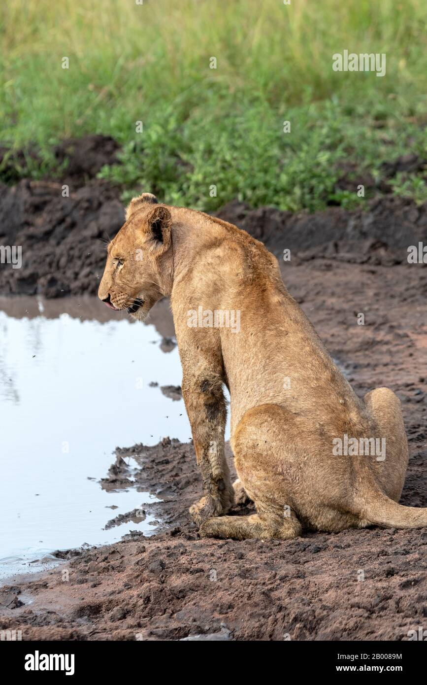 Lioness enjoying to cool mud, in the Serengeti NP Stock Photo
