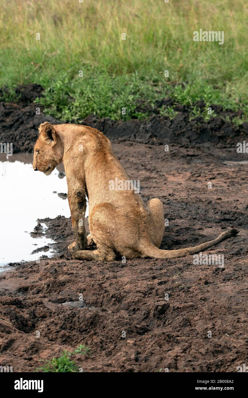 Lioness coming down to the water hole, in the Serengeti NP Stock Photo
