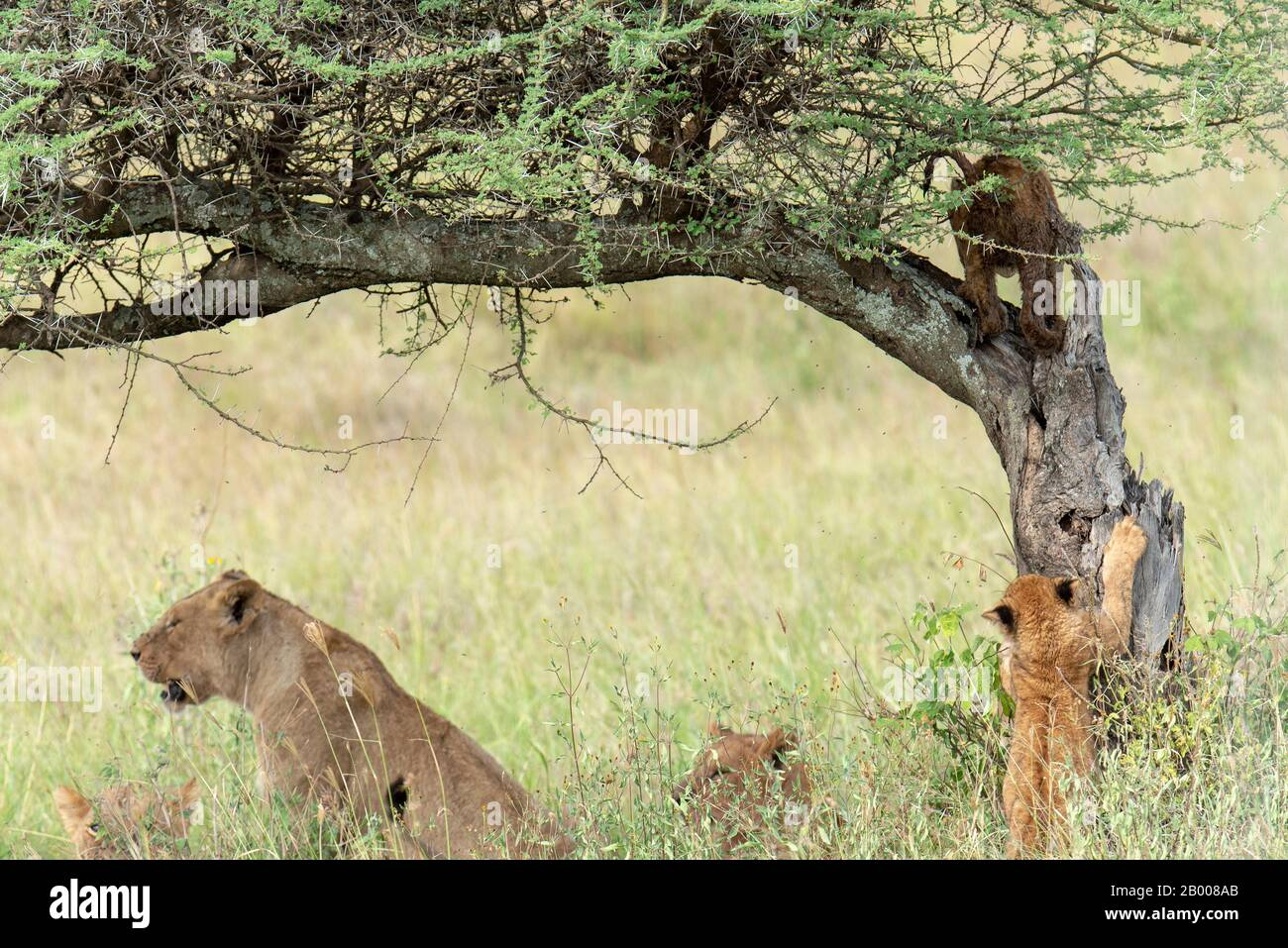 Lions of the Serengeti with cub sharpening his claws on the tree. Stock Photo