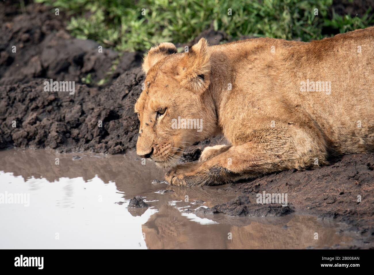 Lions resting in the cool mud in the Serengeti NP Stock Photo