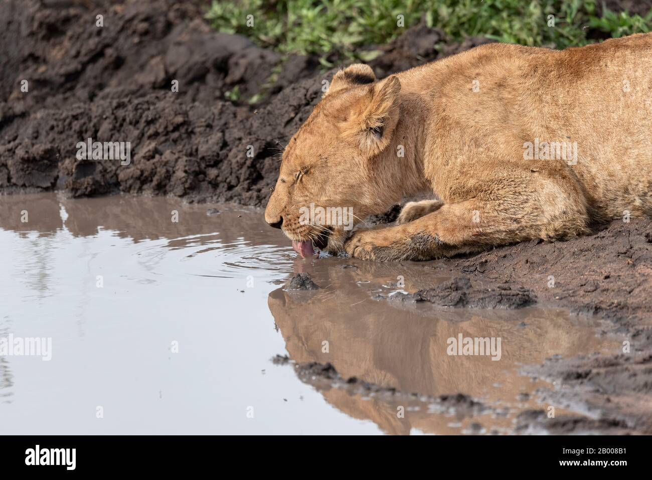 Lioness lapping up a drink in the Serengeti Stock Photo