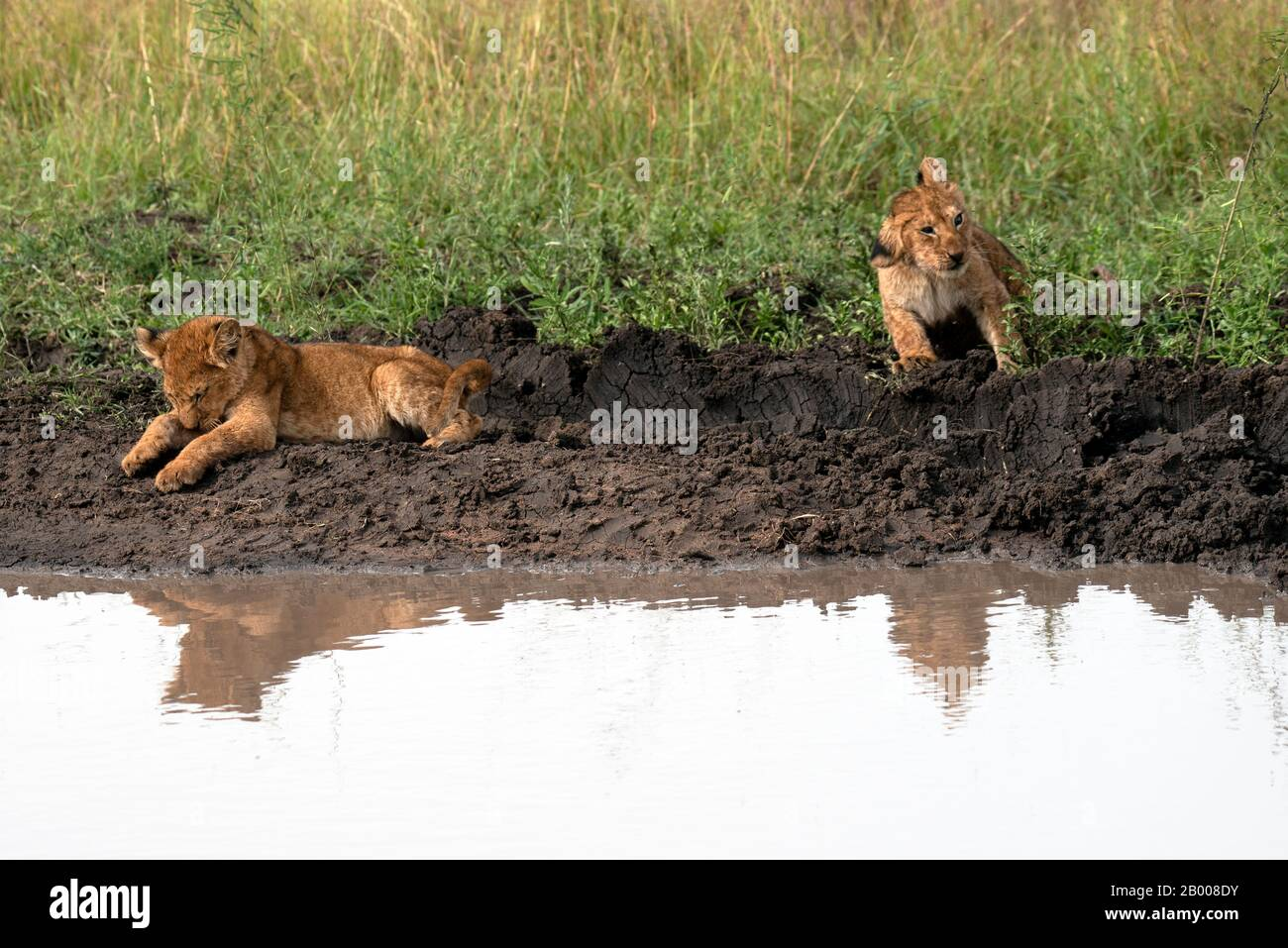 Lion cubs coming down for a wash at the puddle Stock Photo