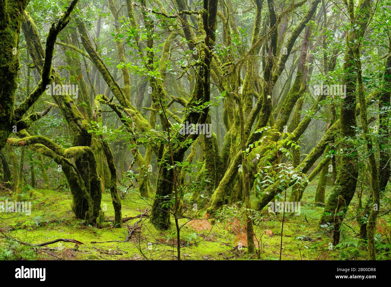 Moss-covered trees in cloud forest, Garajonay National Park, La Gomera, Canary Islands, Spain Stock Photo