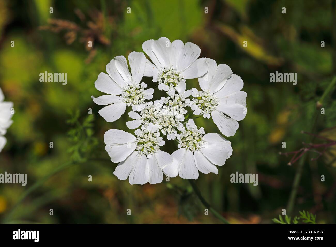 White lace flower, White laceflower, Minoan Lace (Orlaya grandiflora, Caucalis grandiflora), inflorescence, Montenegro, Skadarsee National Park Stock Photo
