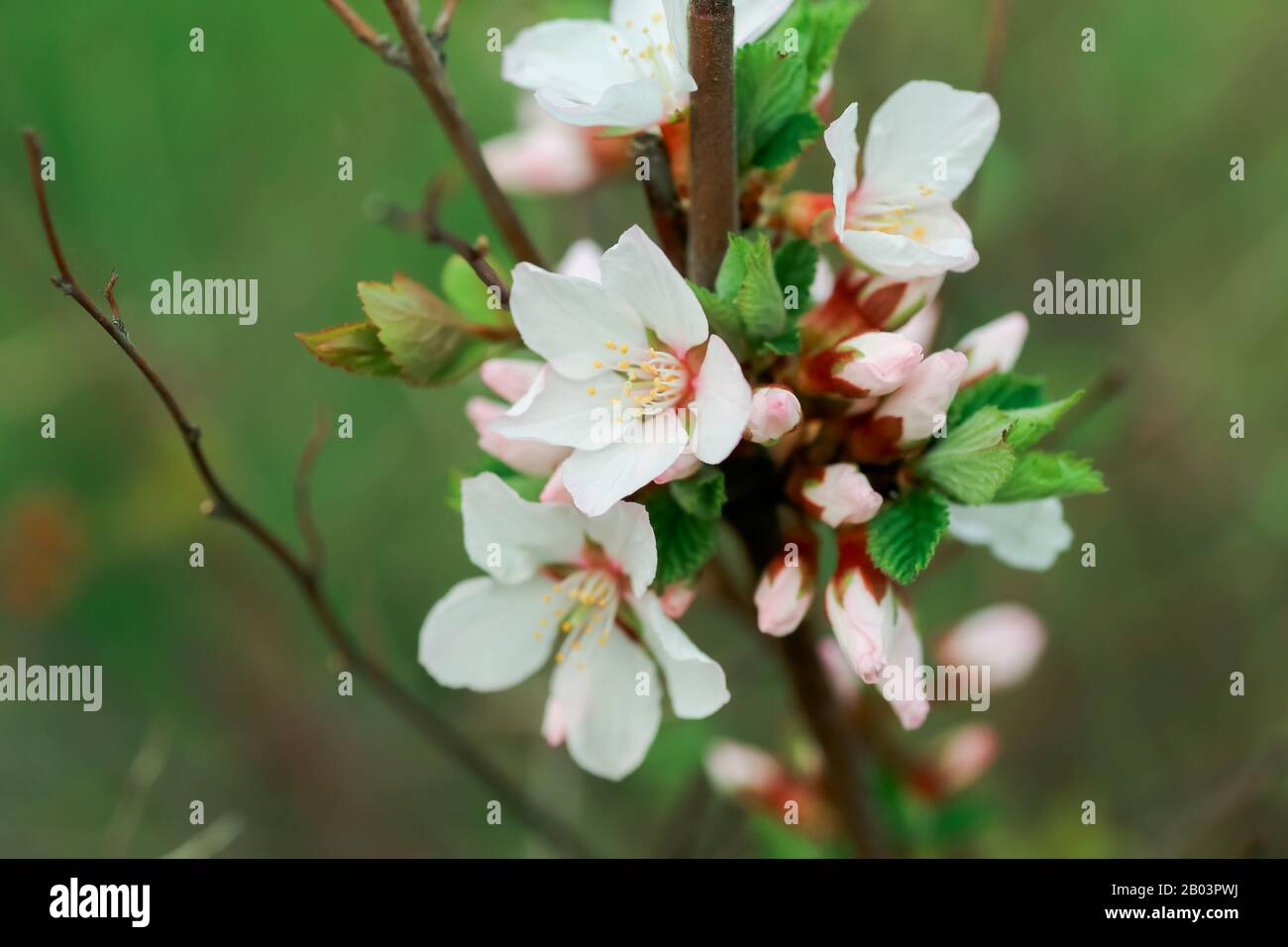 Flower Of Nanking Cherry White Flowers Prunus Tomentosa On A Bush