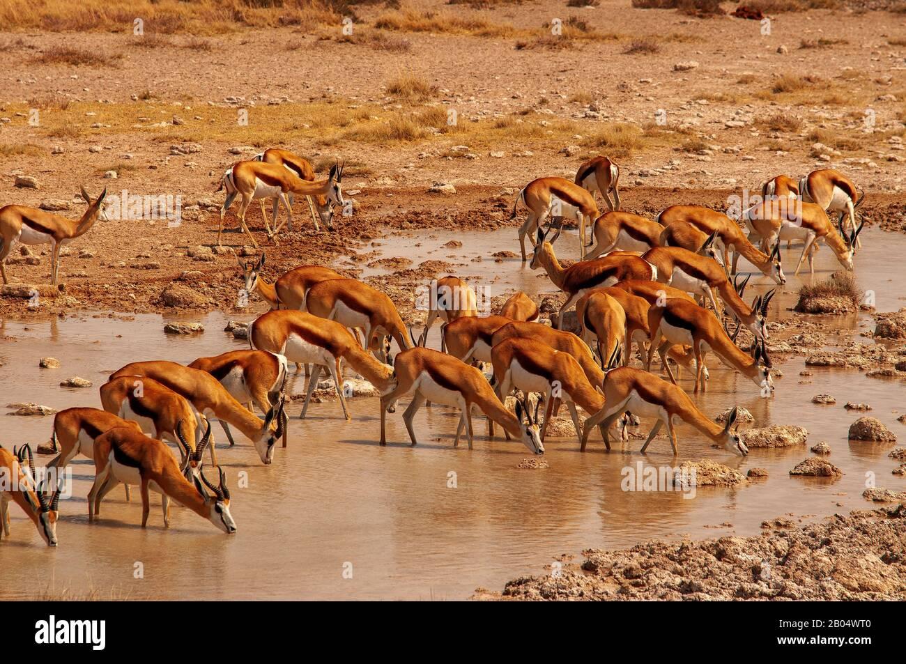 Springbok herd drinking at Salvadora waterhole, Etosha Park, Namibia Stock Photo