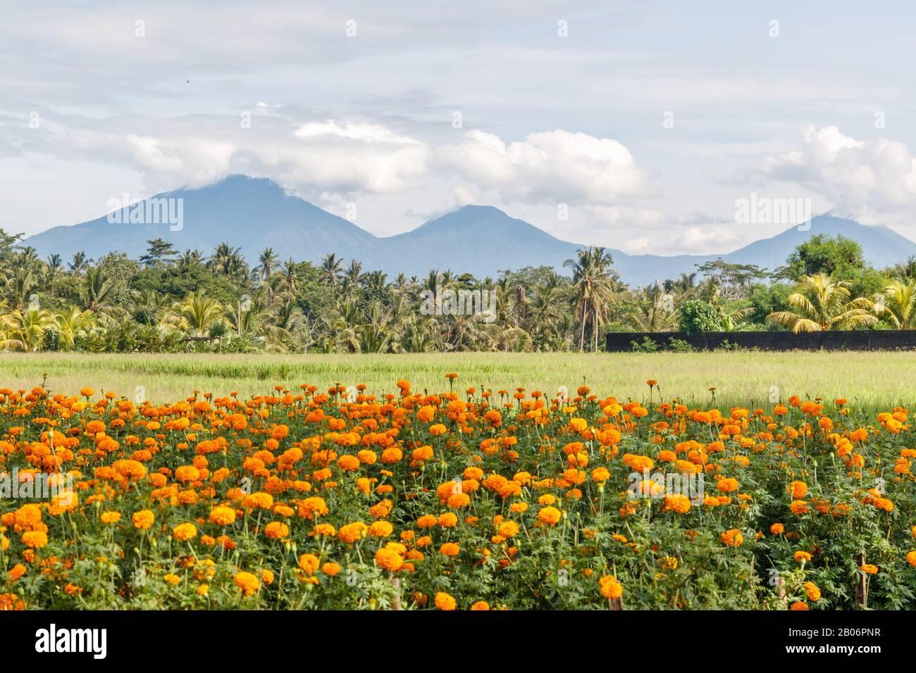 Rice field, mountains on the background. Rural landscape. Bedugul, Tabanan, Bali Island, Indonesia. Stock Photo