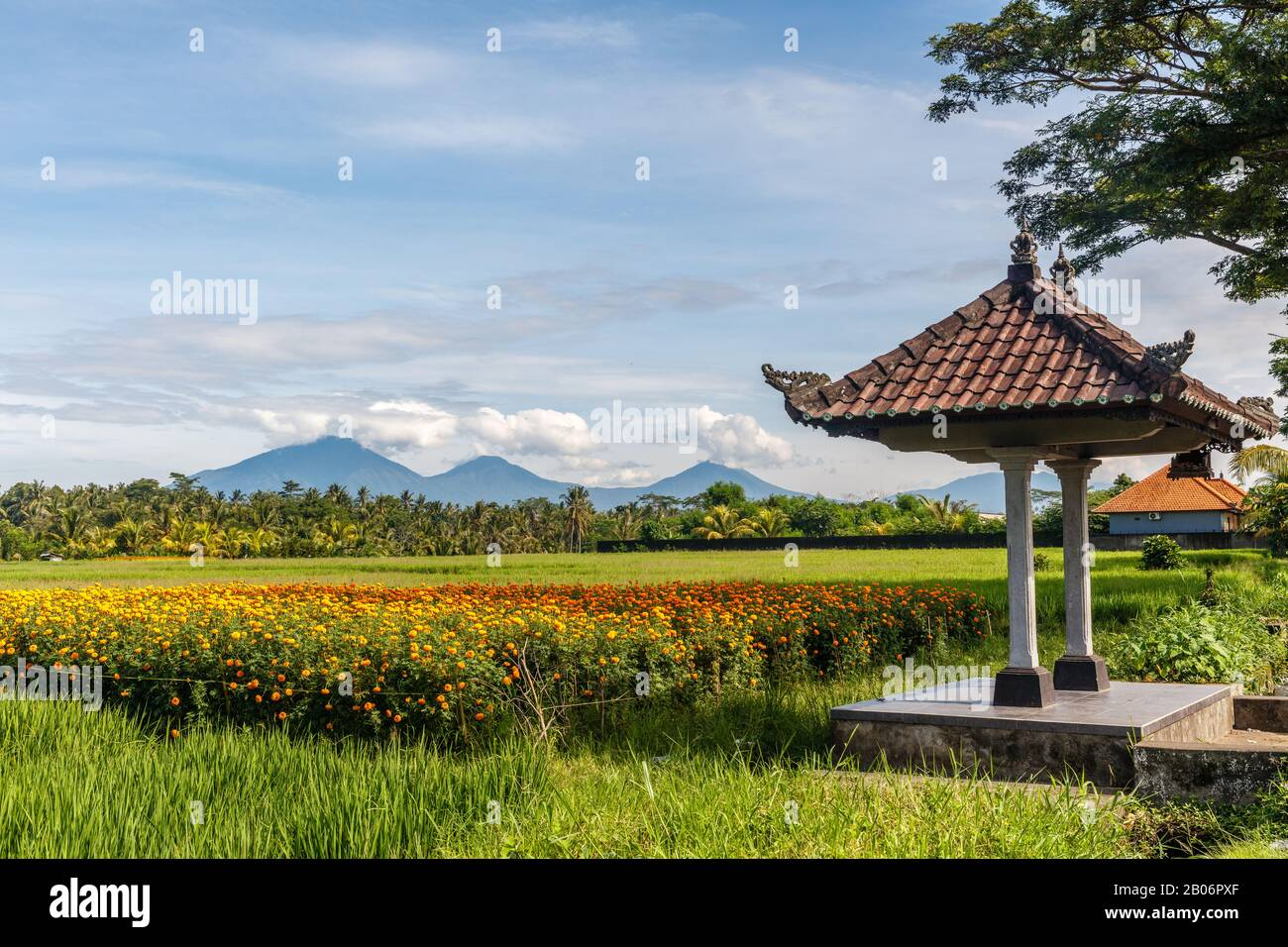 Balinese bale with a background of a field of blooming marigolds, rice field, mountains. Bedugul, Tabanan, Bali Island, Indonesia. Stock Photo