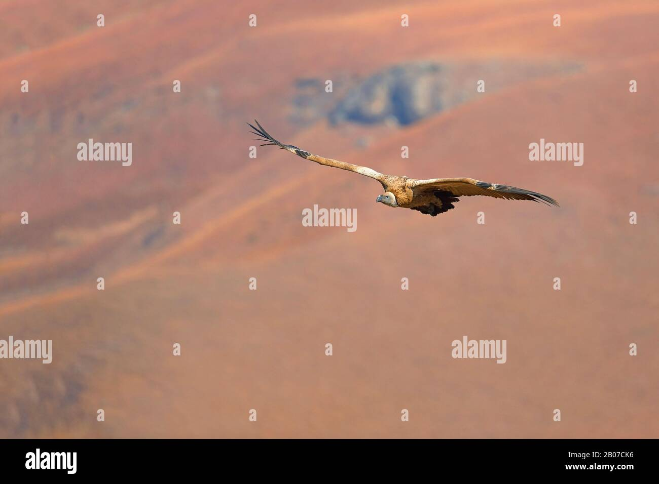 Cape vulture (Gyps coprotheres), in flight, South Africa, Giants Castle Game Reserve Stock Photo