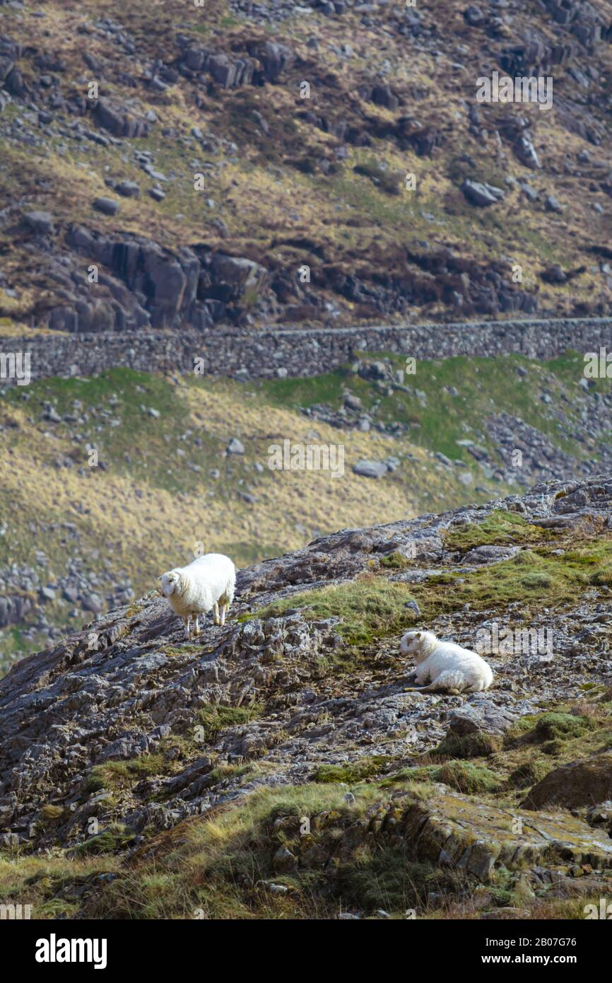 A pair of welsh sheep on the slopes of Snowdon on a spring morning with road in the background Stock Photo