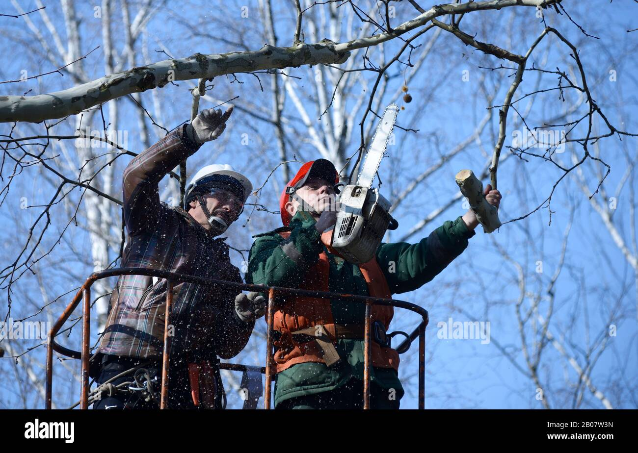 Arborists cut branches of a tree with chainsaw using truck-mounted lift. February 10, 2020. Kiev, Ukraine Stock Photo