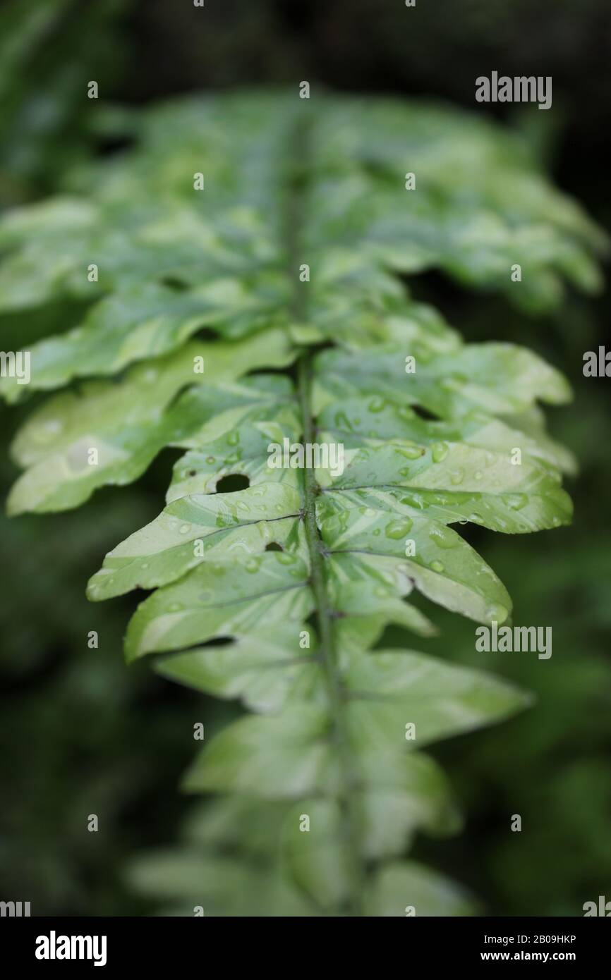 Purrfect tiger fern growing in the garden Stock Photo