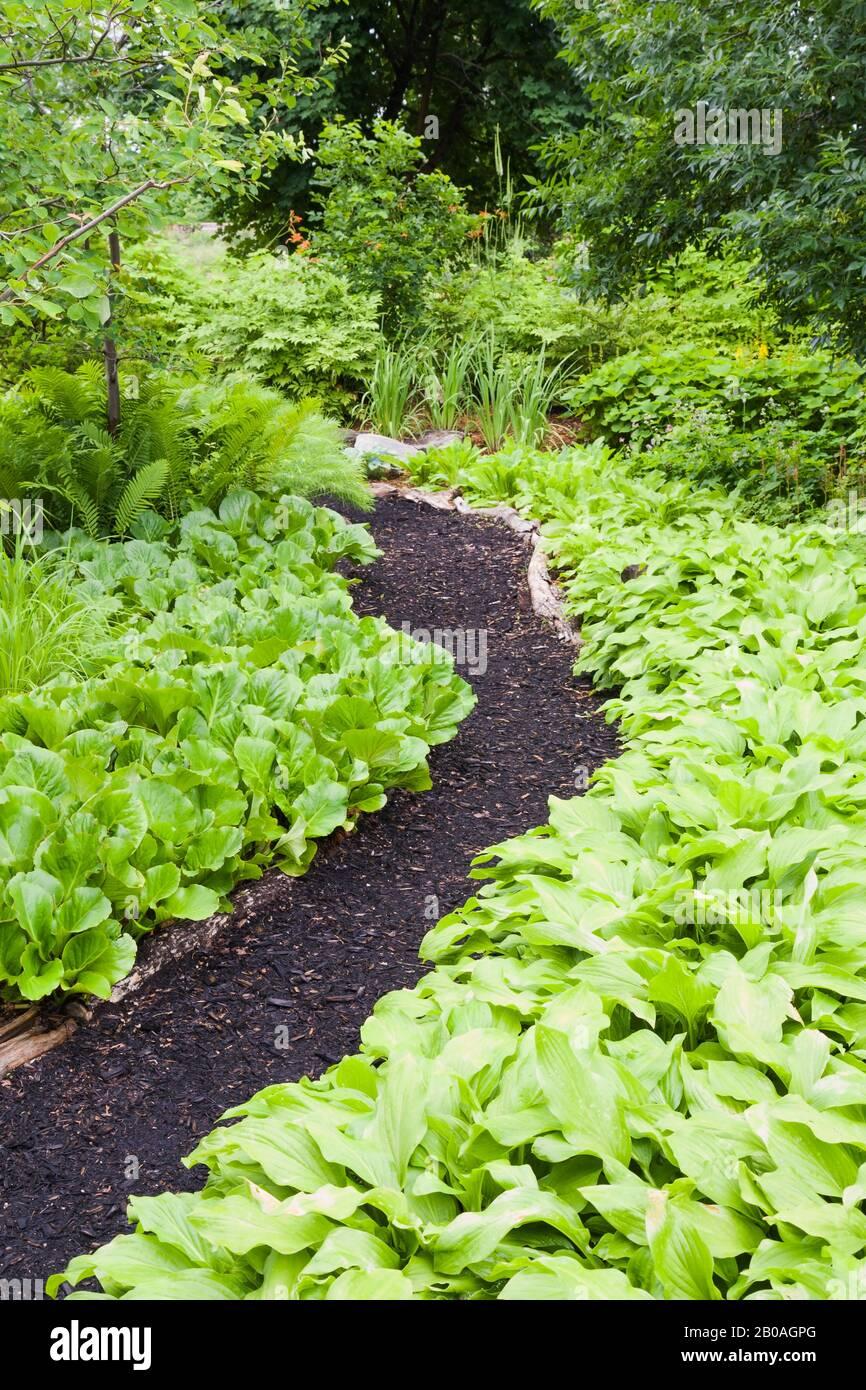 Black Mulch Path Through Borders With Hosta Plaintain Lily