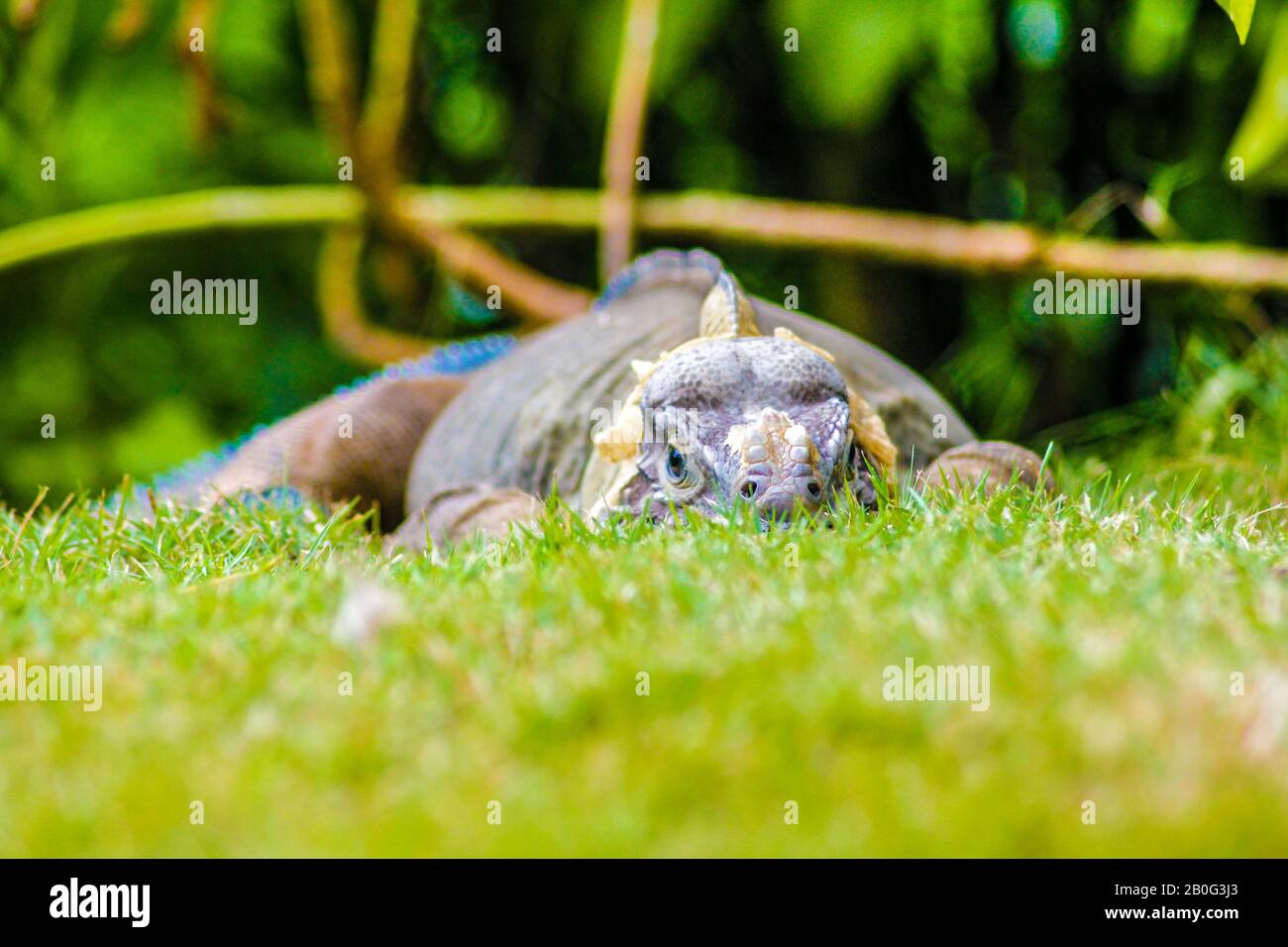 Iguana perched in the green grass Stock Photo