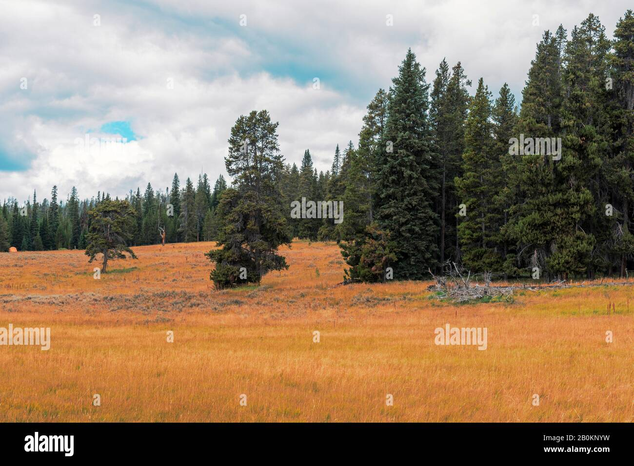 Golden grassy meadows, green pines and forest under a blue sky with white clouds. Stock Photo