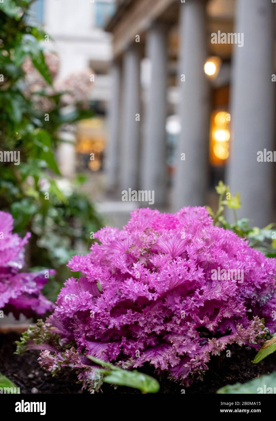 Purple Ornamental Cabbage Plants Growing Amongst Other Plants Photographed In The Piazza At Covent Garden Historic Market London Uk Stock Photo Alamy