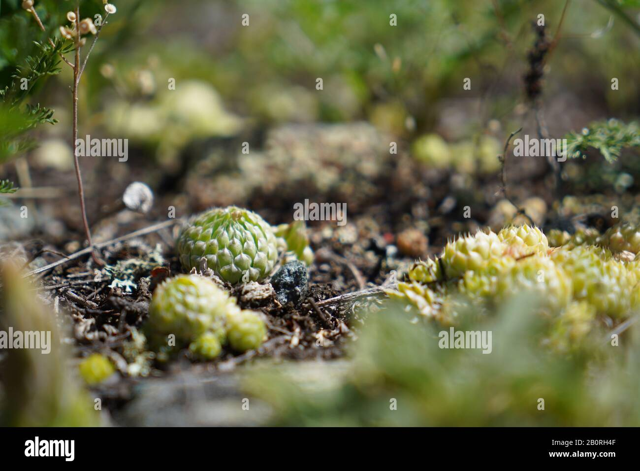 Small round cactus is growing in wild nature in altai mountains Stock Photo