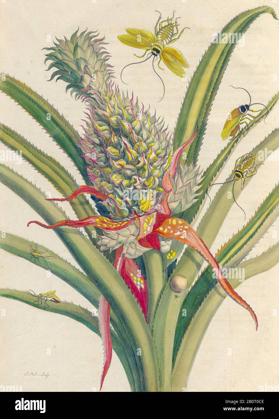 Pineapple and butterflies from Metamorphosis insectorum Surinamensium (Surinam insects) a hand coloured 18th century Book by Maria Sibylla Merian publ Stock Photo