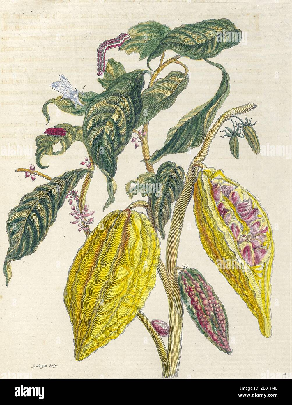 Plant and butterfly from Metamorphosis insectorum Surinamensium (Surinam insects) a hand coloured 18th century Book by Maria Sibylla Merian published in Amsterdam in 1719 Stock Photo