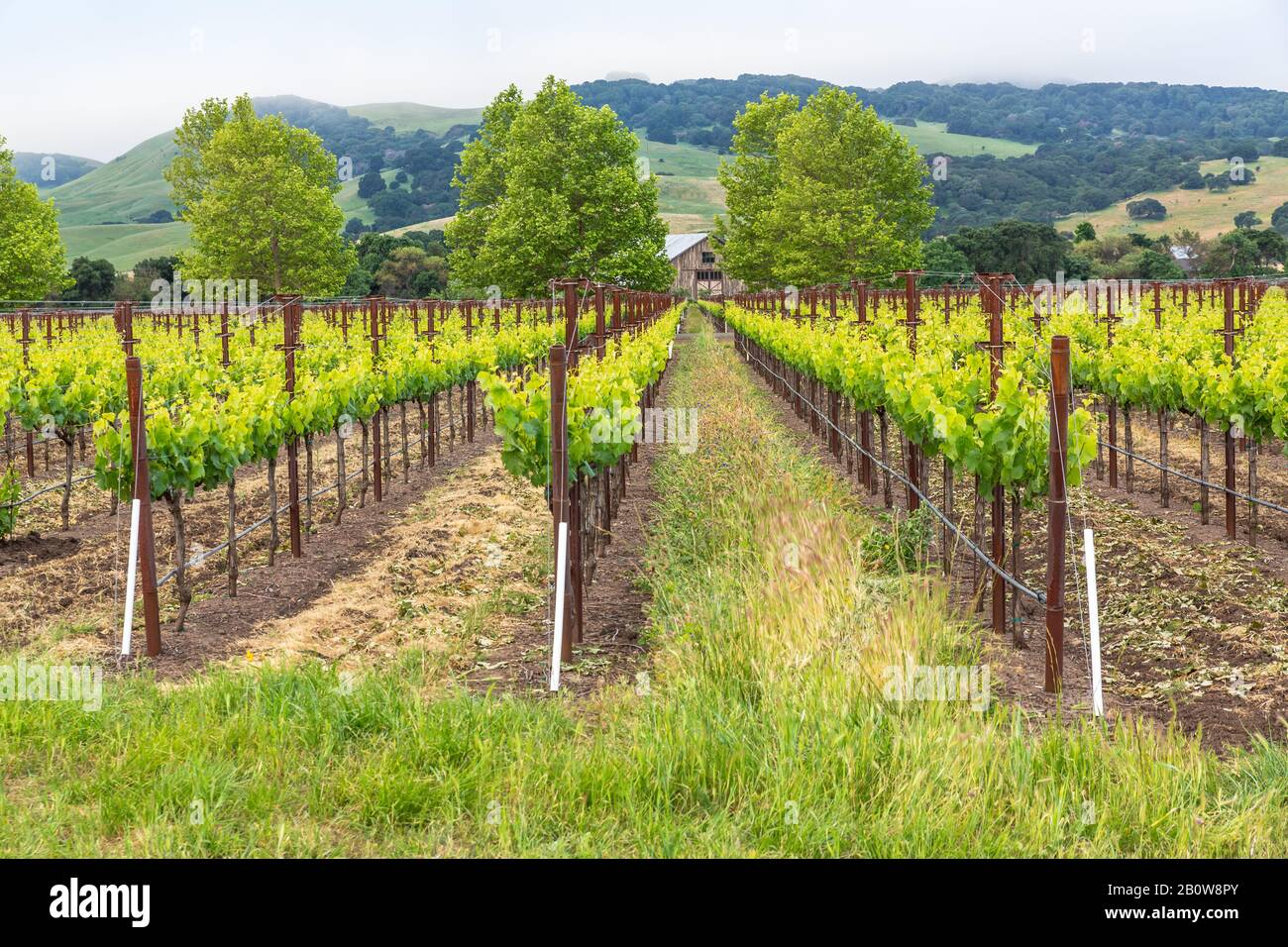 Spring has sprung and the vineyards are looking verdantly lush. A cool atmospheric mist covers the rolling hills and the air feels good. Stock Photo